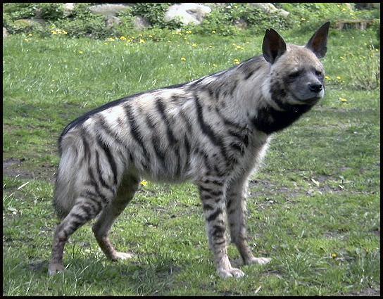 African Wild Dog Cross Breed