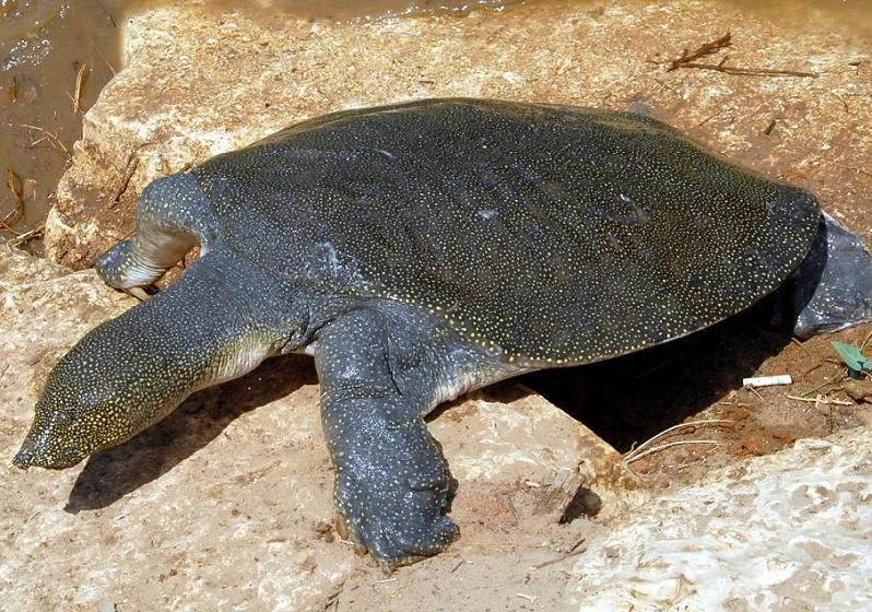 african_softshell_turtle