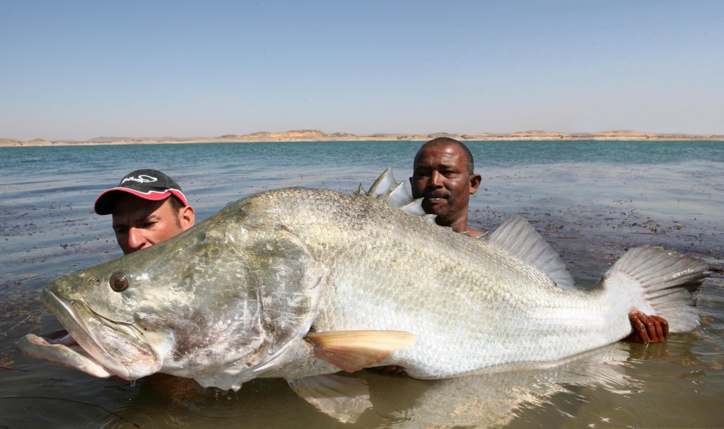Image gallery nile river fish for Perch fish facts
