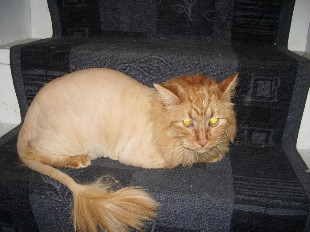 Long Haired Cats And Shaving For Heat
