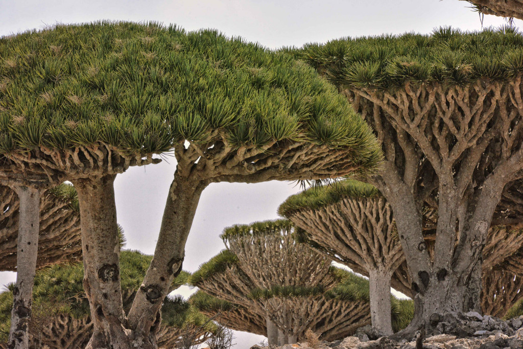 Dragon Trees on Socotra Island (Rod Waddington/flickr)
