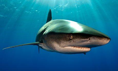 Shark-006